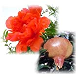 ザクロ:花一番[ハナイチバン]4号ポット[苗木] ノーブランド品