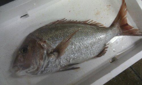 瀬戸内の天然活け鯛 2kg(お刺身で8人〜10人前)