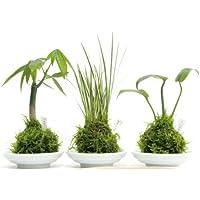 2寸苔玉3種セットパキラ、セキショウ、モンステラ