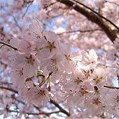 桜[サクラ・エドヒガン系]:江戸彼岸(エドヒガン)桜接木苗4号ポット