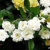 白い木香バラ(シロモッコウバラ) ポット苗