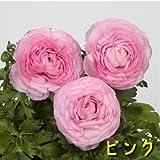 球根性宿根草 ラナンキュラス 全6色 1株 【ピンク】