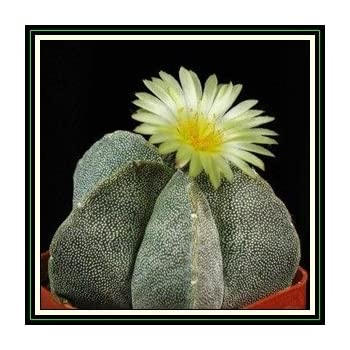 Amazon.co.jp: 【観葉植物/種子】Copiapoa cinerea var. Gigantea★コピアポ ...