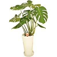 観葉植物 モンステラ7号高陶器鉢