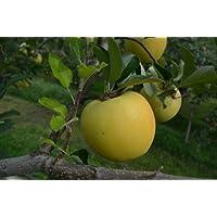長野県産 生産農家直送 訳ありりんご 「シナノゴールド」 ご家庭向き 24~36玉 約10kg入り/箱