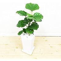 フィカス ウンベラータ ゴムの木 スクエア陶器鉢植え 観葉植物 インテリア 中型 ウランベータ