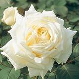 バラ苗 ロイヤルプリンセス 国産大苗6号スリット鉢 ハイブリッドティー(HT) 四季咲き大輪 アンティークタイプ 白系