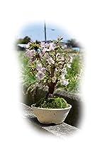 桜盆栽 御殿場桜で 自宅でお花見
