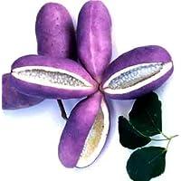 ジャンボアケビ (紫水晶) 三つ葉あけび 《果樹苗》