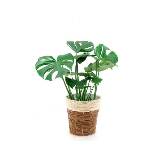 観葉植物 8号+6号セット パキラ8号・モンス...の紹介画像3
