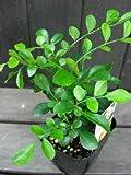 観葉植物 シルクジャスミン (ゲッキツ) 3号サイズラベル付き苗