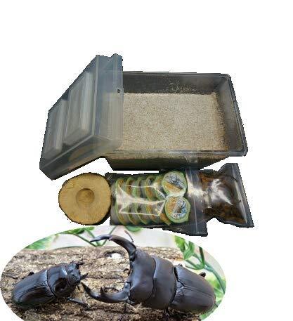オオクワガタ専用:産卵初めてセット 即ブリード可能なオオクワガタオスメスペア付き(オス72.5~74.5mm)(虫)