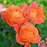 バラ苗 ディズニーランドローズ 国産大苗6号スリット鉢 フロリバンダ(FL) 四季咲き中輪 複色系