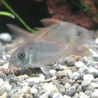 熱帯魚 コリドラス コンコロール ワイルド 1匹 【北海道・九州・沖縄・離島は発送不可】 生体