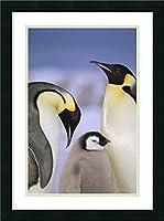 アートフレーム印刷' Emperor Penguinペアwith Chick、Atkaベイ、プリンセスマーサ・Coast、ウェッデル海、Antarctica ' by Tui De Roy Size: 18 x 24 (Approx), Matted グレー 2621275