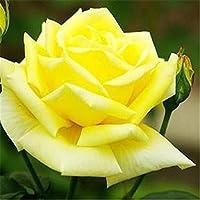 新鮮な珍しいローザキネンシス中国ローズ種子花植物の種子(A006) - 20個/ロット