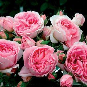 バラ苗 デリア 国産大苗オリジナル角鉢7号 四季咲き ピンク系 ギヨーローズ(フレンチローズ)