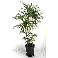 観葉植物 開店祝い シュロチク8号(セラアート鉢入り受け皿付) 木札・ラッピング付