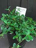 ミニ観葉植物 ガジュマル シャングリラ つる性 ラベル付き3号苗