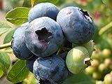 ブルーベリー 苗 チャンドラー ノーザンハイブッシュ系3年生大苗 ブルーベリー苗 blueberry