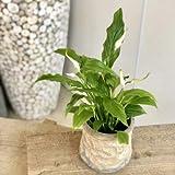 観葉植物:スパティフィラム 鉢カバー付き*