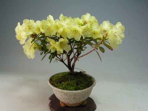 黄花シャクナゲの鉢植え盆栽 今年の開花は終わっております。