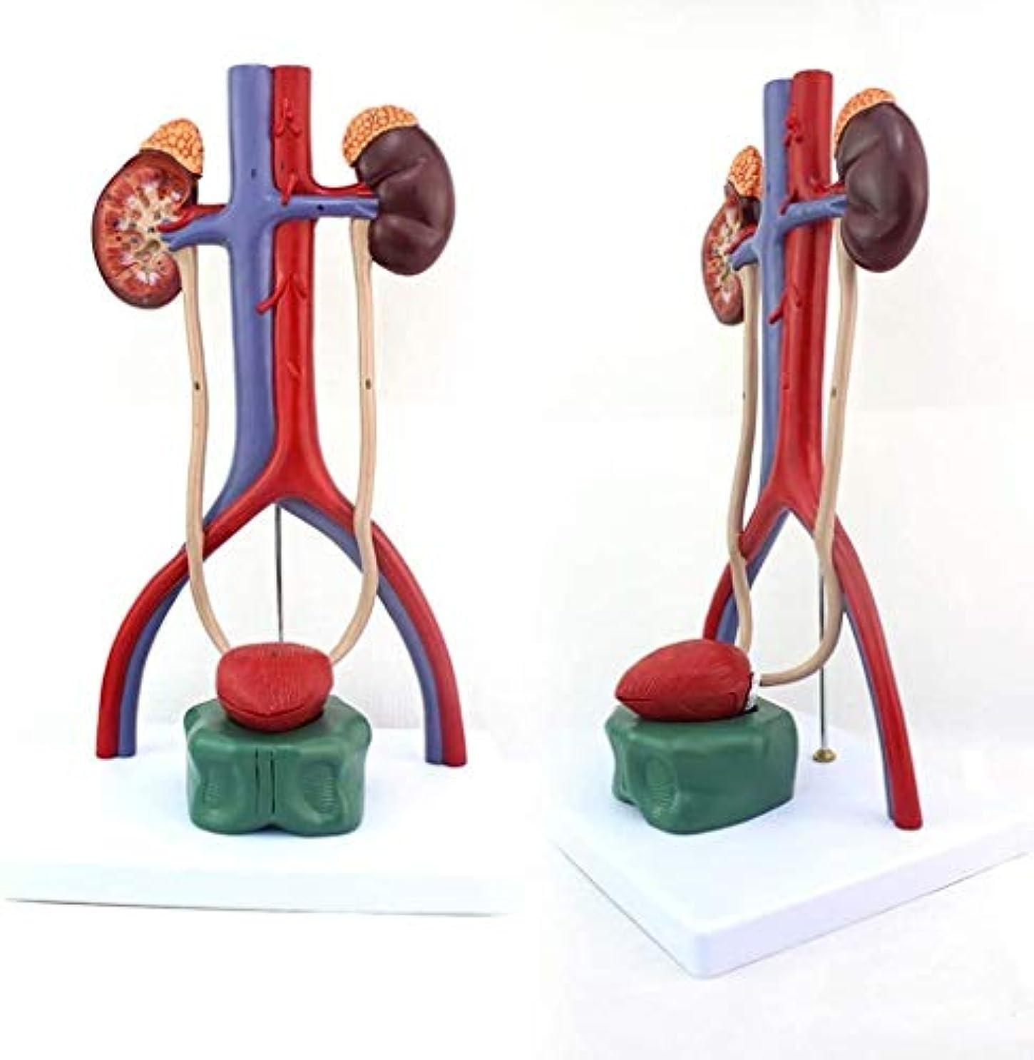 チューリップ自然公園吐く泌尿器系のステレオ人体モデル、人間医学解剖学的モデル、尿道の尿管膀胱腎臓モデル解剖モデル動静脈