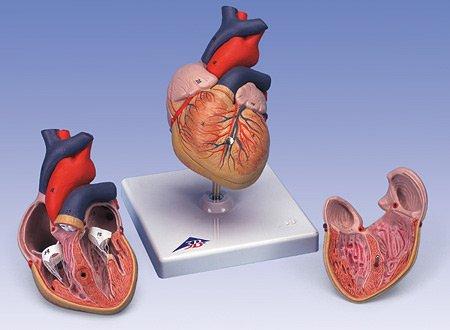 3B社 心臓模型 心臓2分解モデル (g08)