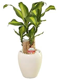 観葉植物 幸福の木(ドラセナ)2本植え5号丸高陶器鉢(白)