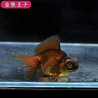 【金魚王子】チョコレート蝶尾 (9センチ前後) 個体番号:cvb855 金魚 きんぎょ 生体 蝶尾」 厳選個体