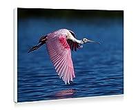 ベニヘラサギ飛行、鳥、翼、水 - 壁の絵 壁掛け ソファの背景絵画 壁アート写真の装飾画の壁画 動物 - (50cmx35cm)