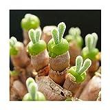10個入りMonilaria Obconica多肉植物の種子庭ハマミズナ科多年生草本