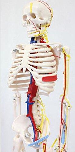 人骨模型 血管&心臓付き ガイコツ85cm【JUEKO】JK-3885A