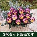 パンジー 虹色スミレ エンジェルピンク ポット苗 3個セット パンジー ビオラ すみれ 苗 寄せ植え