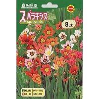 秋植え球根 美色混合スパラキシス 混合 (236769)