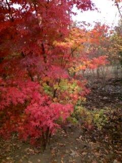 人気の!☆イロハモミジ☆一本立ち 樹高1.2m前後 植えやすいポット苗♪