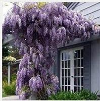 DIYホームガーデンのための10pcs / bag 紫藤花の種:マルチカラー