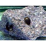 サイズ良いので丈夫です 石巻貝Lサイズ 5個(こだわりの生体をお届けします 名生園)