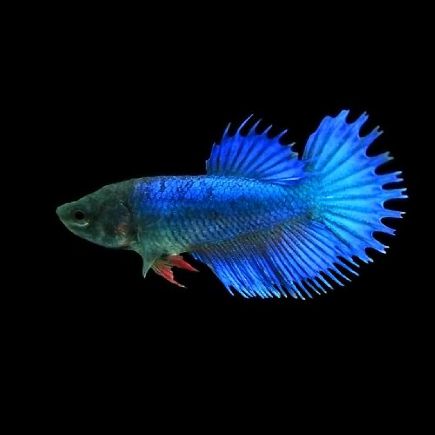 アルコール静けさ森林(熱帯魚)ベタ クラウンテール メス(色おまかせ)(約3cm)<1匹>[生体]