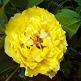 家庭菜園のための10pcs /袋混合色の牡丹の植物の花Plantas 牡丹の花の苗盆栽植物:その他