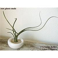 エアープランツチランジア・ベイレイ / ホワイトイリプス / AirPlants Tillandsia・BAILEY / White Ellipse / インテリアグリーン / ミニ観葉植物