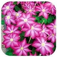 20枚つるクレマチス鉢植えのクレマチスの花:9