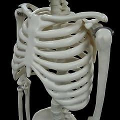 人体模型 骨 頭蓋骨 全身骨格 1/2モデル 85cm