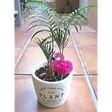 観葉植物 実生 ソテツ  プリントポット植え ミニサイズ