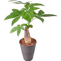 発財樹パキラ4号陶器鉢植え【観葉植物インテリアグリーン】