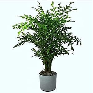 【種子】Caryota Urens/Fishtail Palm★クジャクヤシ/孔雀椰子◆3粒♪