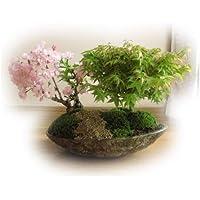 桜ともみじの寄せ植え