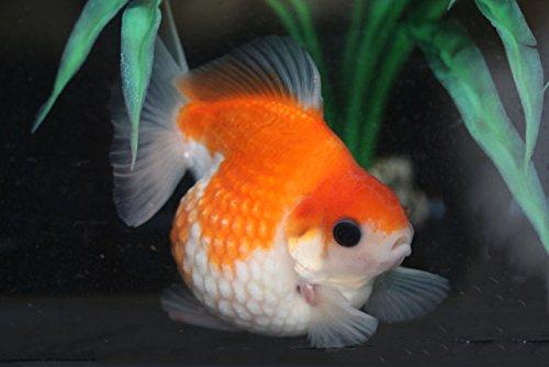 【国産金魚】 桜ピンポンパールの針仔 100匹+5匹(死着保証)  【なまず園0224】