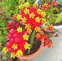 300個の熱帯トウワタ種子-Scarletトウワタ、Bloodflowerメキシコ蝶雑草