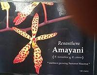 種:Renathera Amayani(Monachica X citrina)、蘭の植物